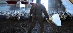 10/03 - Communiqué de presse Afsca :  Grippe aviaire - Prolongation des mesures de prévention avec de nouveaux assouplissements