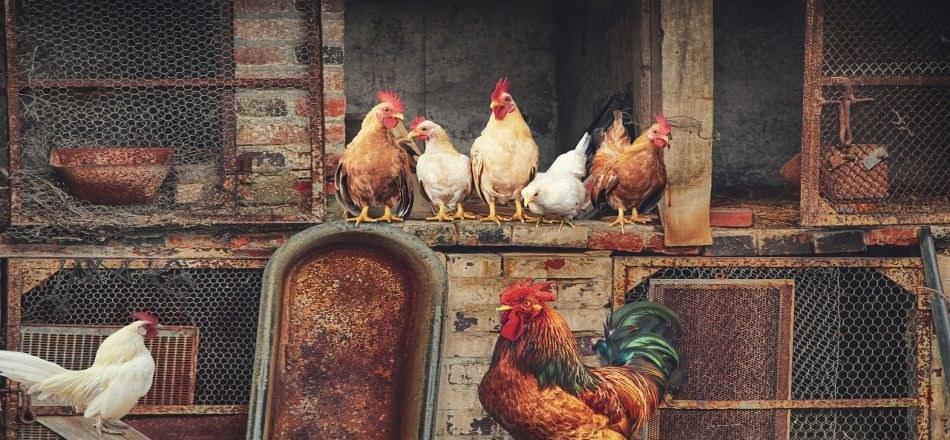 07/01 - Grippe aviaire : le confinement obligatoire des volailles et oiseaux captifs reste de vigueur sur l'ensemble du territoire !