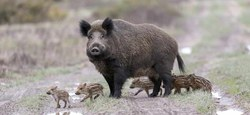 24/09 - Peste porcine : appel à la conscience citoyenne