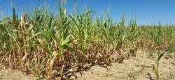 15/11 - Avis aux agriculteurs : Sécheresse 2018 - la Commission de constat des dégâts aux cultures se réunit pour le 2ème constat